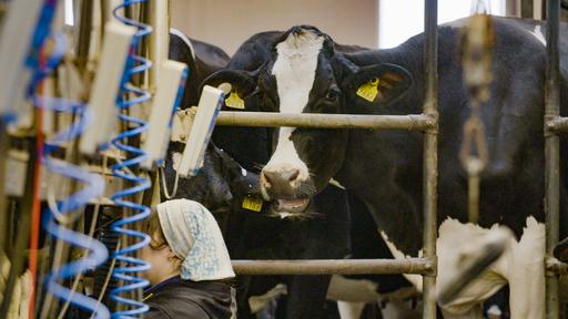 Kaikki irti eläimistä: Näkymätön lehmä